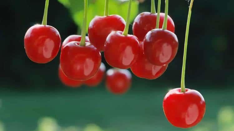 Tart Cherry Juice vs Capsules